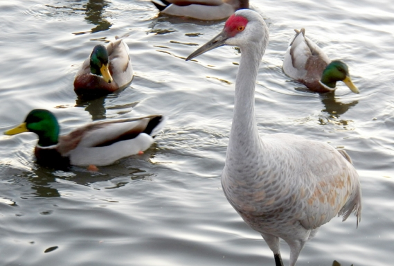 Sandhill Crane and Ducks