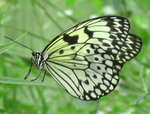 See-Through Butterfly Wings