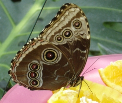 "Many ""Eyed"" Butterfly Feeds"