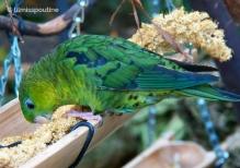 Green-Barred Parakeet