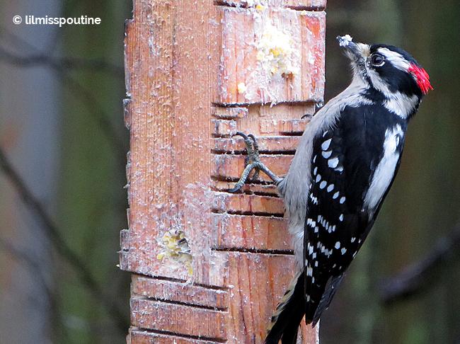 Male Downy Woodpecker on suet feeder