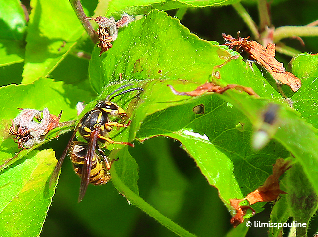 Yellow Jacket on Apple Tree Limb 2