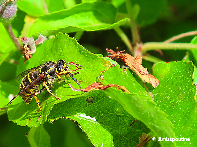 Yellow Jacket on Apple Tree Limb