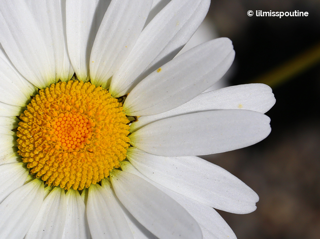 Oxeye Daisy (top down)