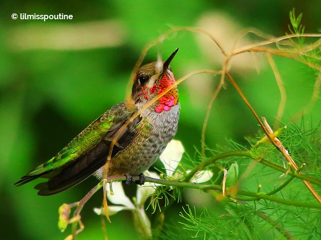 Anna's Hummingbird, male, on flowering arugula 2