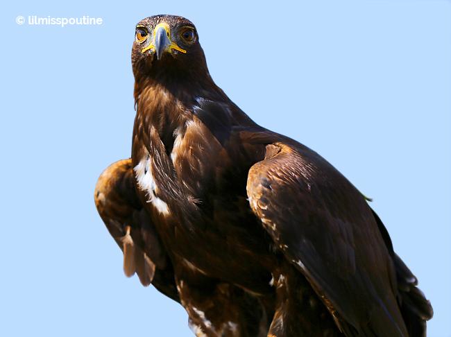 Golden-Eagle-Headon