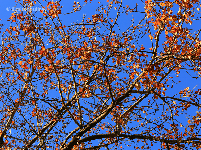 Autumn-Leaves-on-the-Tree