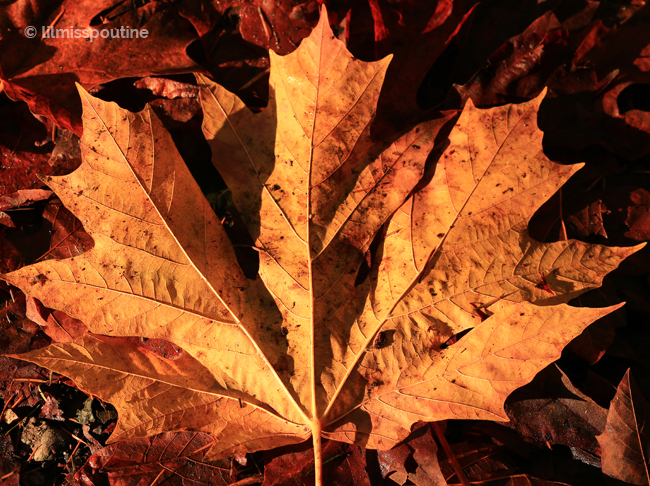 Giant-Maple-Leaf
