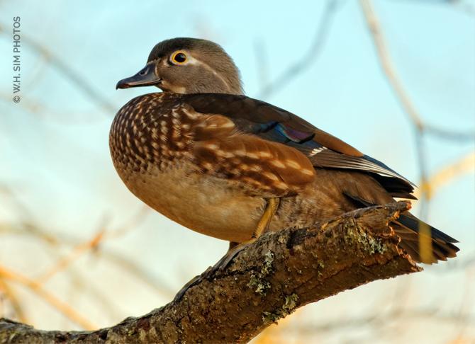 LMP-Wood-Duck-Hen-on-Log