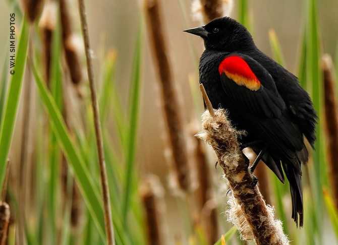 Male Red-Winged Blackbird in the Reeds (Iona Island)